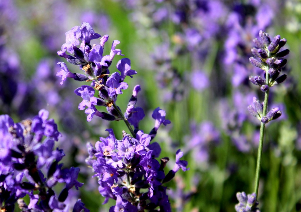 Lavender Most Versatile Essential Oil Pure Home And