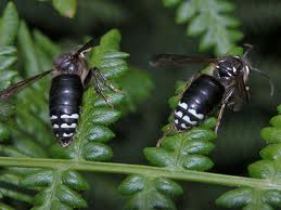 essential oils for insect stings